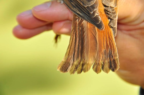 Name that species. The even growth bars indicate it's a young bird.