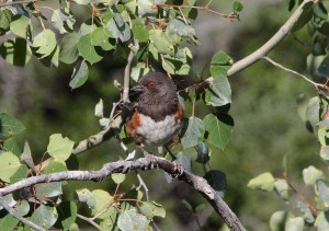 spotted towhee (5)